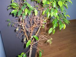 Почему опадают листья на фикусе Бенджамина? Как правильно ухаживать за растением?