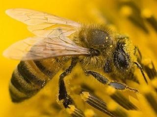 Продукты пчеловодства. Целебные свойства пчелиного яда и пыльцы