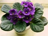 Узамбарская фиалка: как правильно ухаживать за комнатным растением