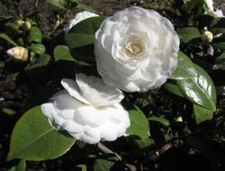 Камелия очень декоративна, поэтому пользуется большим спросом среди цветоводов-любителей.