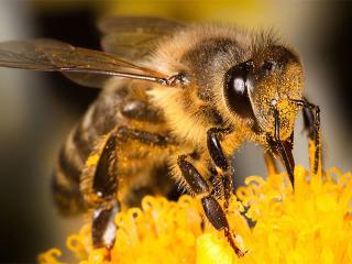 Первая помощь при ужалении пчел (оказание первой помощи на даче)