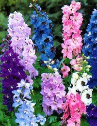 Дельфиниум: цветы для вашего сада
