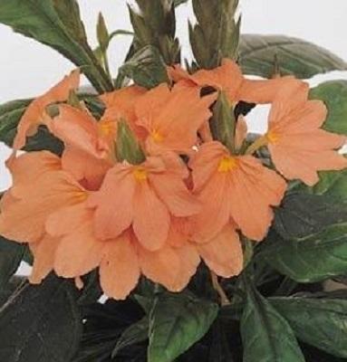 Цветок кроссандра - уход и 66