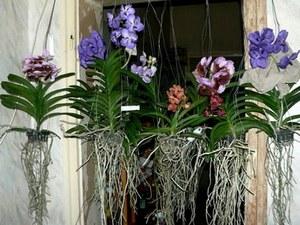 Как размножить орхидею в домашних условиях: черенкование, деление куста 88