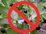 Осторожно, ядовитые растения! Оказание первой помощи