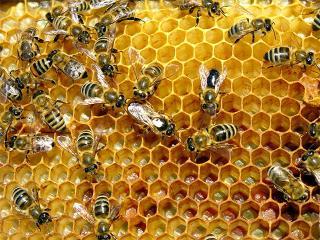 Продукты пчеловодства. Прополис в народной медицине